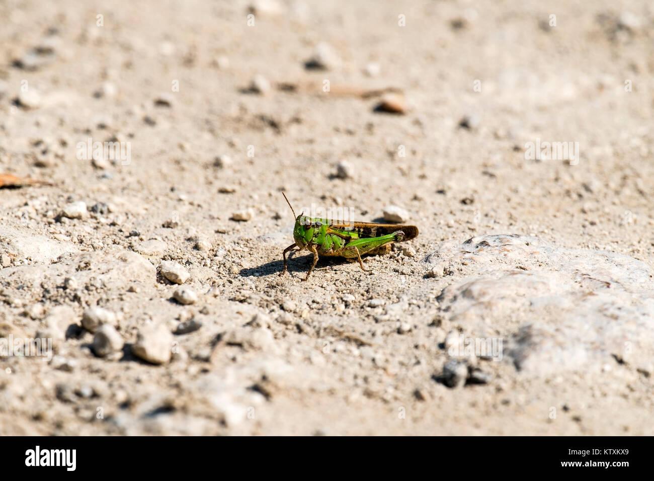 Der Grashüpfer Acrididae Familie sitzt auf einem Feldweg (Omocestus viridulus) Stockbild