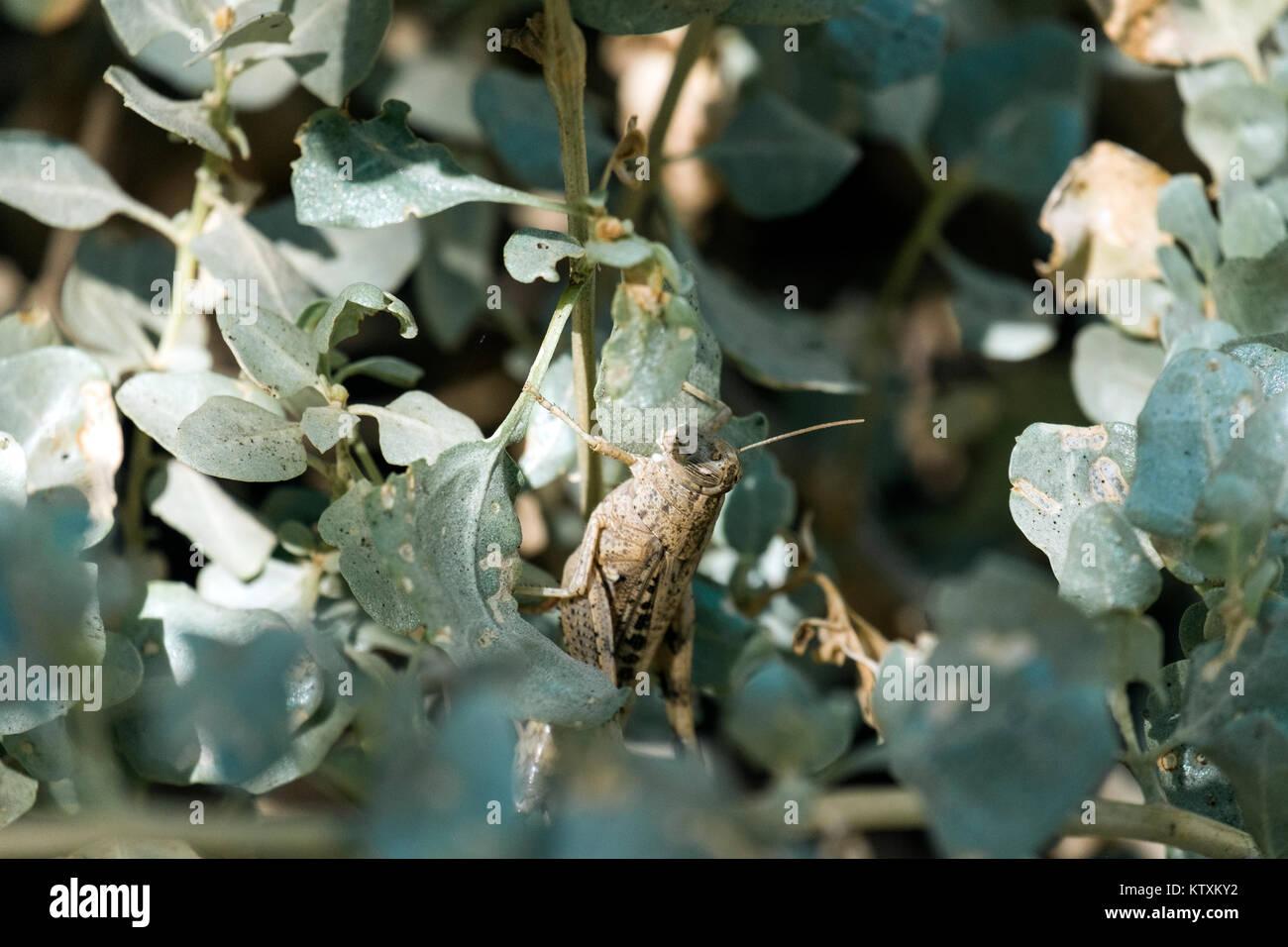 Wandernde Heuschrecke sitzt unter dem grünen Laub der Bush (Locusta migratoria) Stockbild