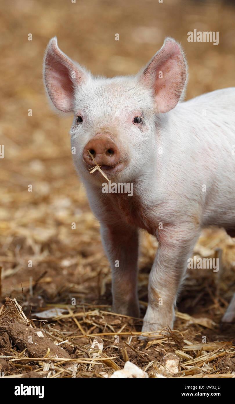 Ferkel auf einen Outdoor Pig Farm. Stockbild