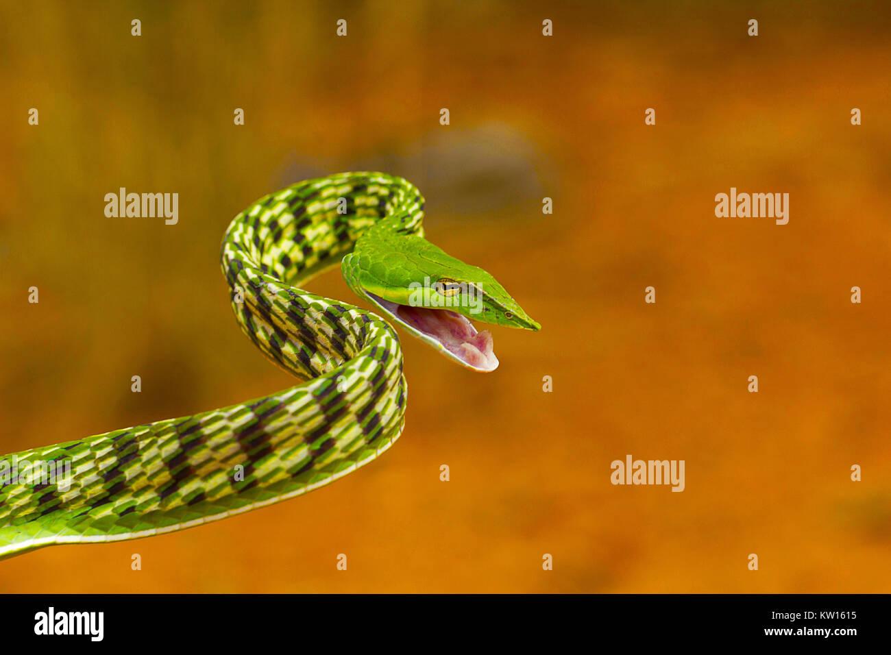 Grüne Rebe Schlange, Ahaetulla nasuta, leicht giftig. Pondicherry, Tamil Nadu, Indien Stockfoto