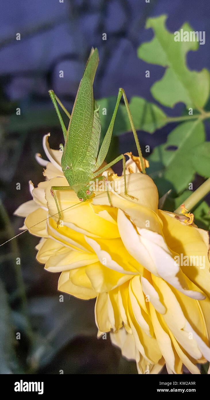 Grüne Tettigonia Viridissima Insekt sitzen auf gelbe Blume, die große Green Bush - Kricket hautnah. Stockbild