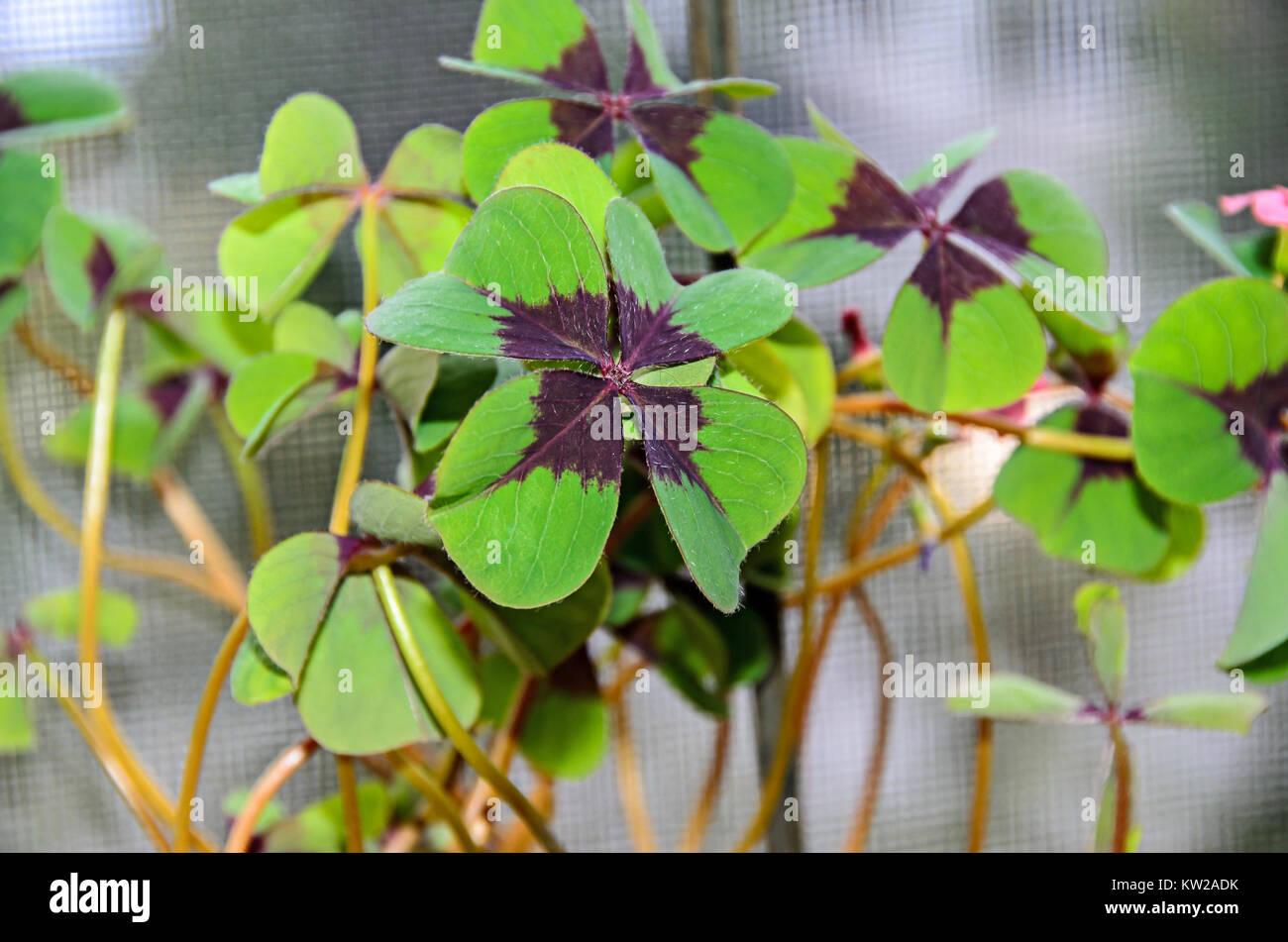 Vier Blätter Klee, grüne Blätter treibt, Kleeblatt, lucky Symbol schließen. Stockbild