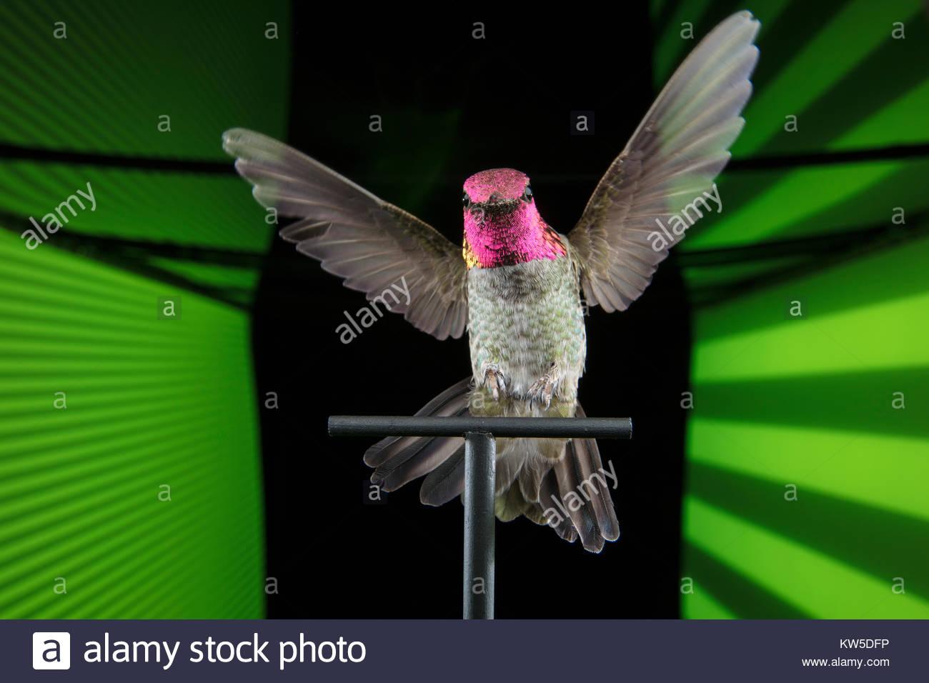 Eine Anna's Kolibri Calypte Anna, in einer virtuellen Realität Tunnel verwendet die visuelle Wahrnehmung Stockbild