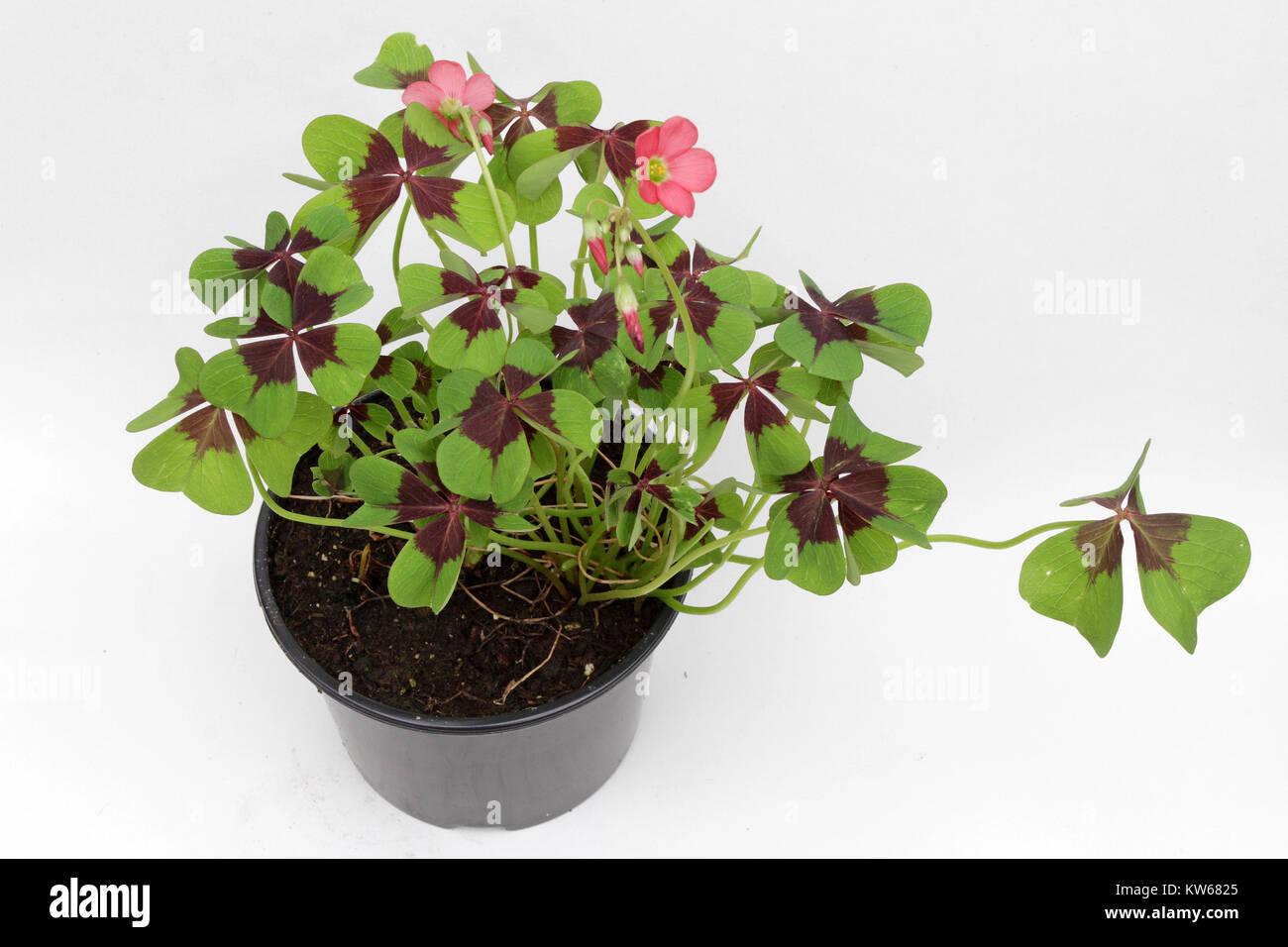 Four Leaf Clover Anlage auf weißem Hintergrund mit Kopie Raum isoliert. vier Blätter Klee Stockbild