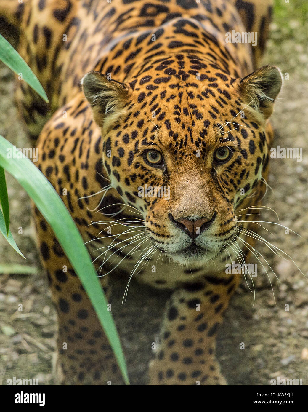 Jaguar Panthera onca Stockbild