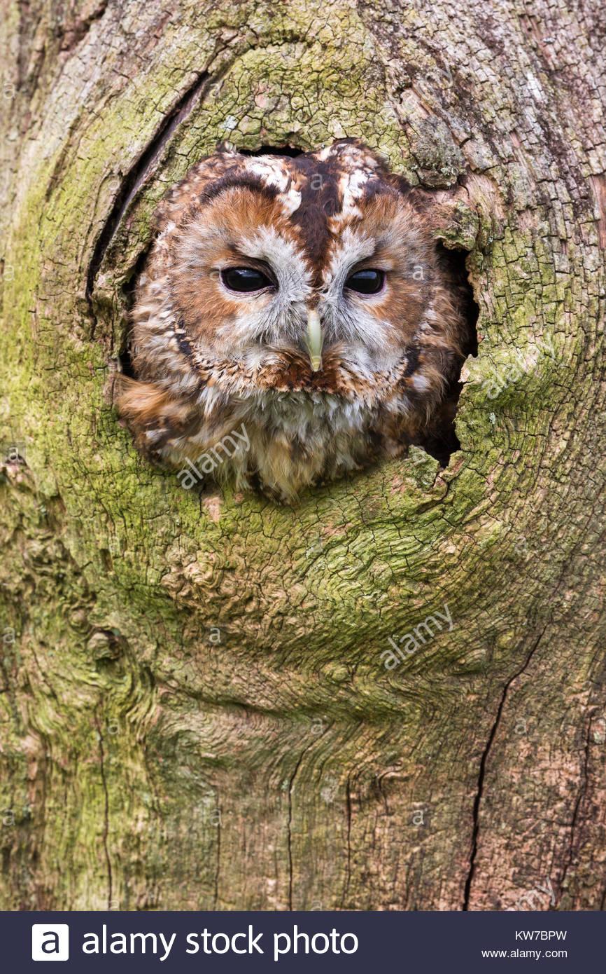 Waldkauz (Strix aluco), Captive, UK, August 2016 Stockbild