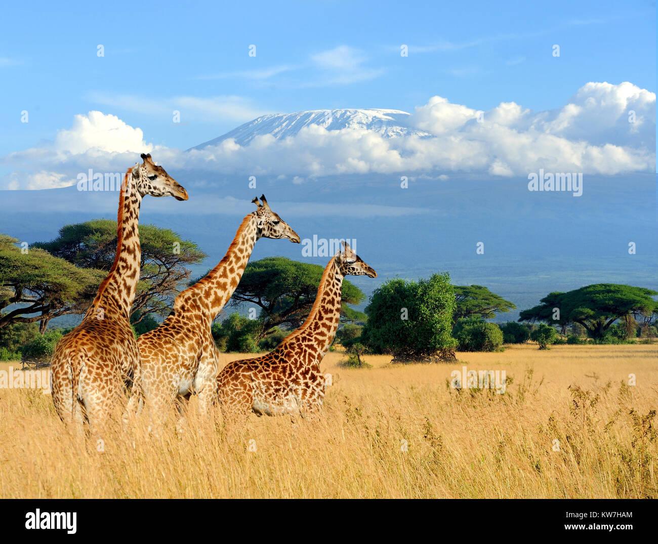 Acrylglasbild Drei Giraffen vorm Kilimanjaro