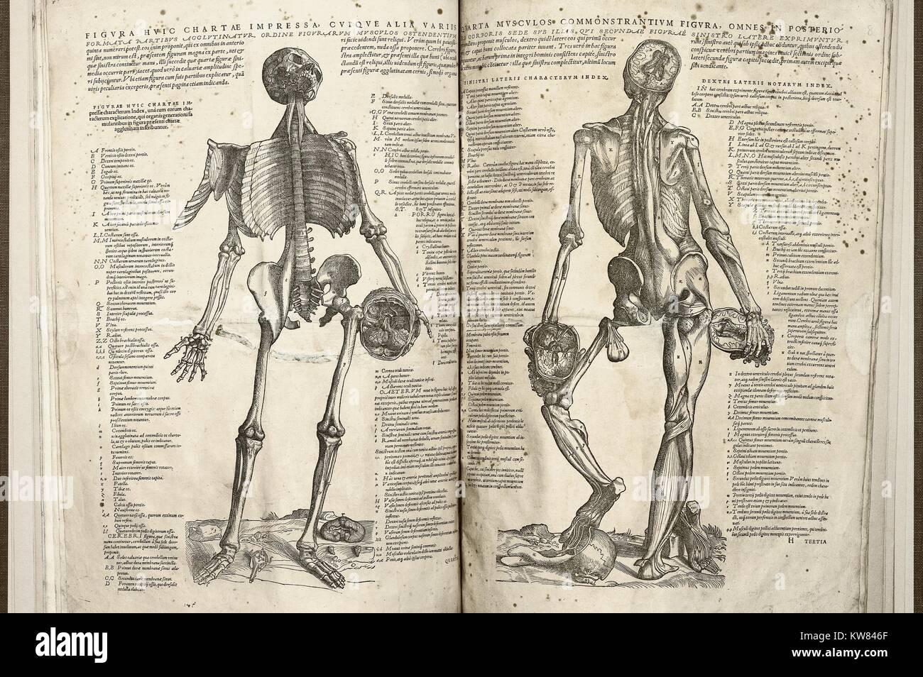 Ziemlich Diagramm Der Muskeln Des Körpers Bilder - Menschliche ...