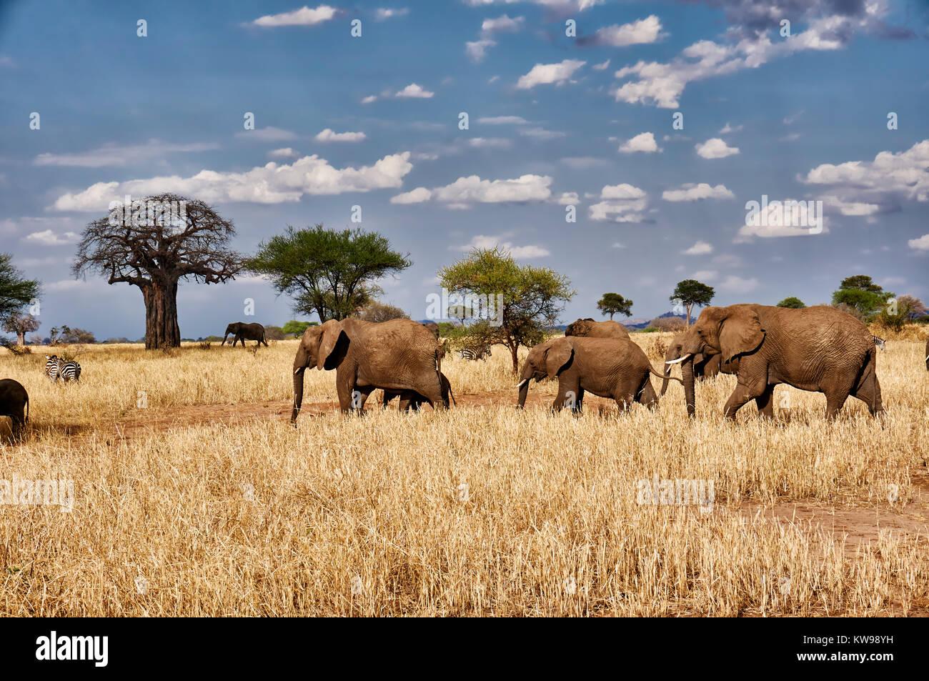 Afrikanischen Busch Elefanten, Loxodonta africana, im Tarangire Nationalpark, Tansania, Afrika Stockbild