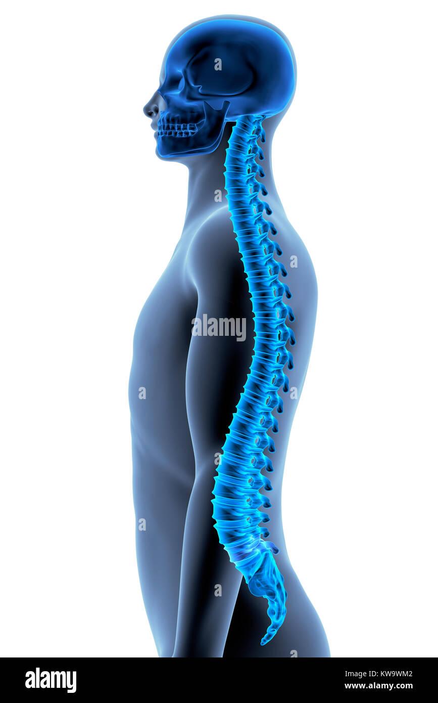 Der menschliche Körper - Wirbelsäule. Von der Seite. X-Ray Effect ...