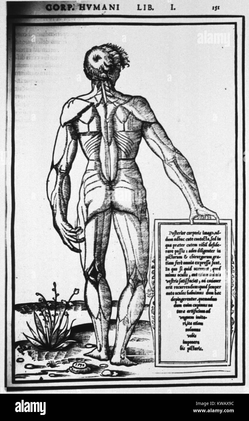 Fein Karte Von Menschlichen Muskeln Zeitgenössisch - Anatomie Von ...