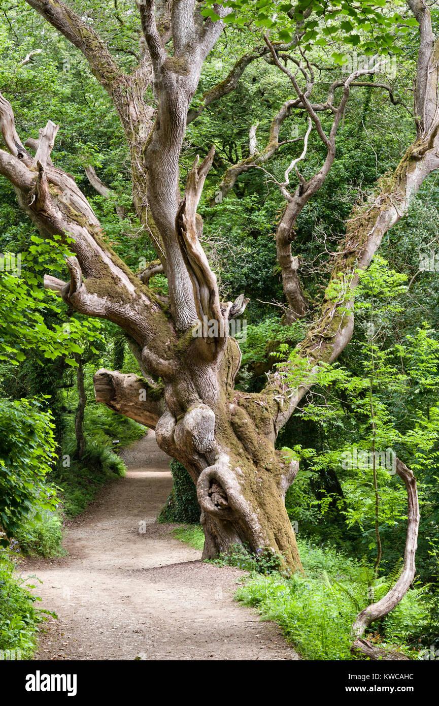 Die Lost Gardens of Heligan, Cornwall, UK. Eine seltsam geformte alter Baum am georgischen Ride, einem der Waldwege Stockbild
