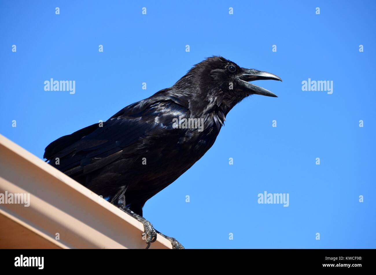 Eine Krähe, rook, Raven caws auf einem Dach, Page, Arizona USA Stockbild