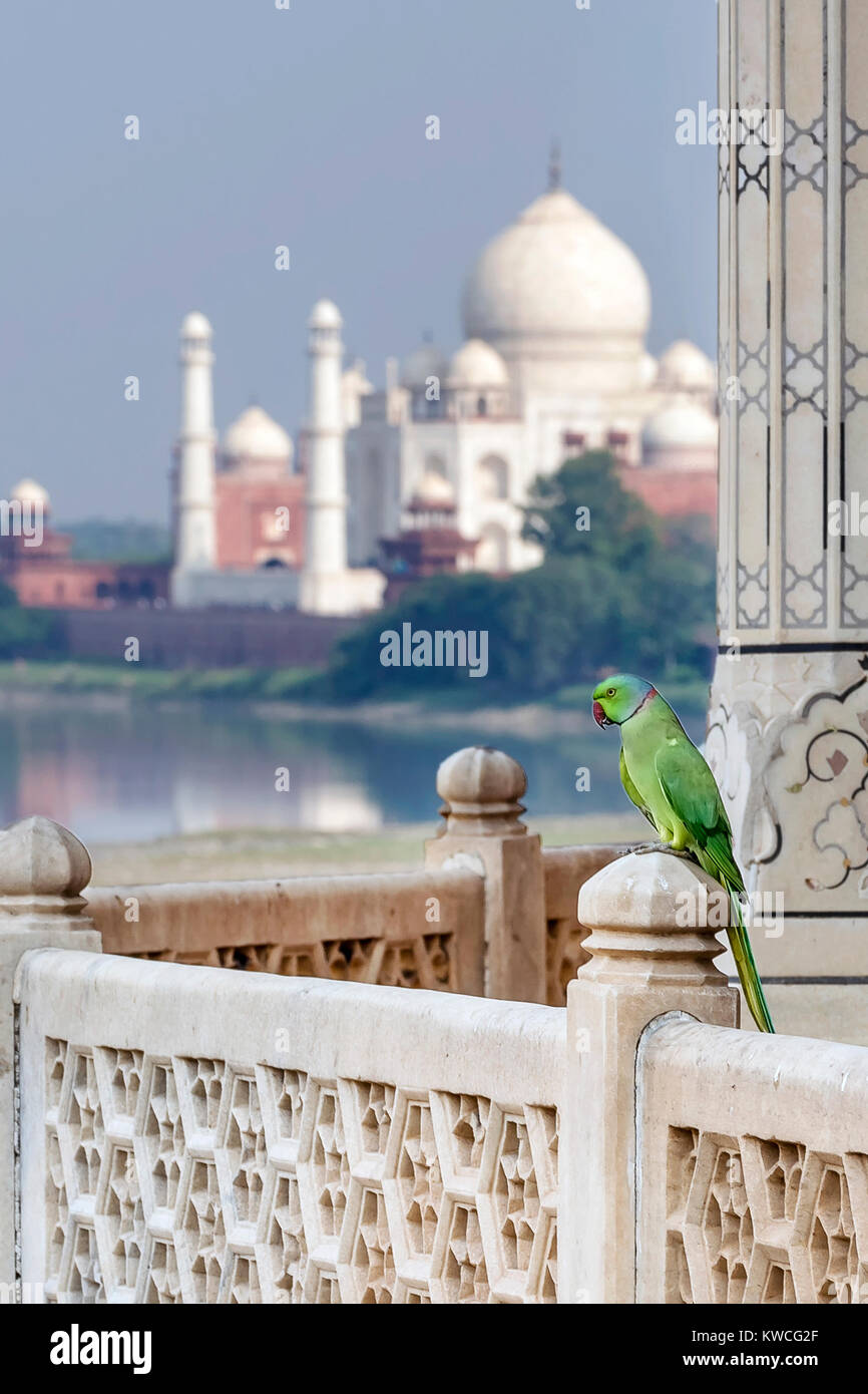 Parrot gegen Taj Mahal Palace, Agra, Uttar Pradesh, Indien Stockbild