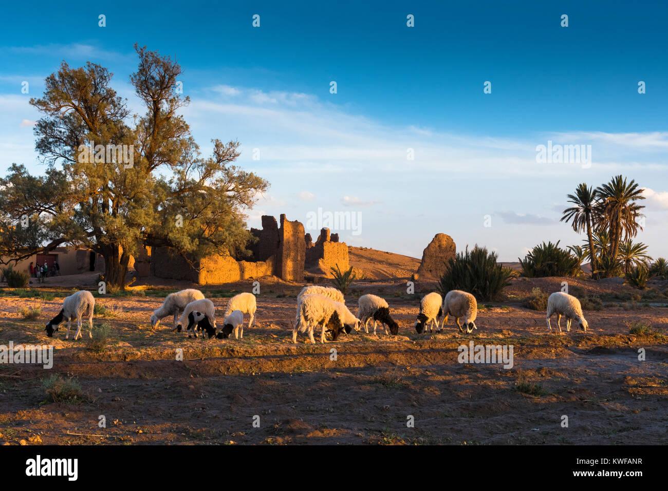 Schafe weiden in der idyllischen Umgebung von Kasbah bei Sonnenuntergang. Stockbild