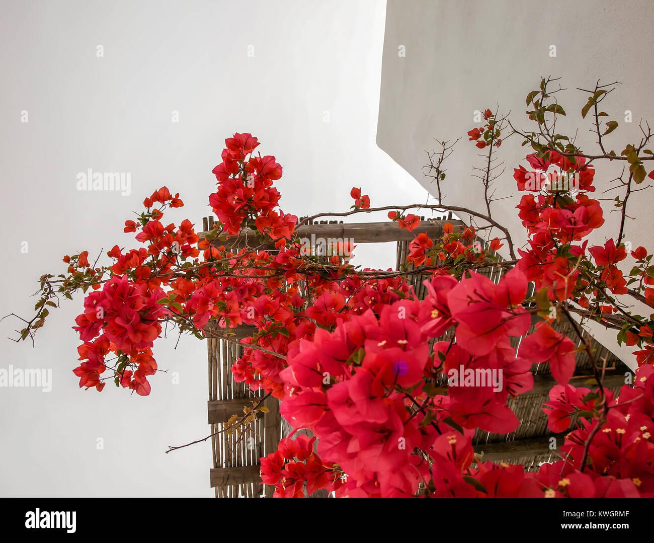 Helles Rot Bougainvillea Pflanze Blumen Klettern Auf Einem Bambus