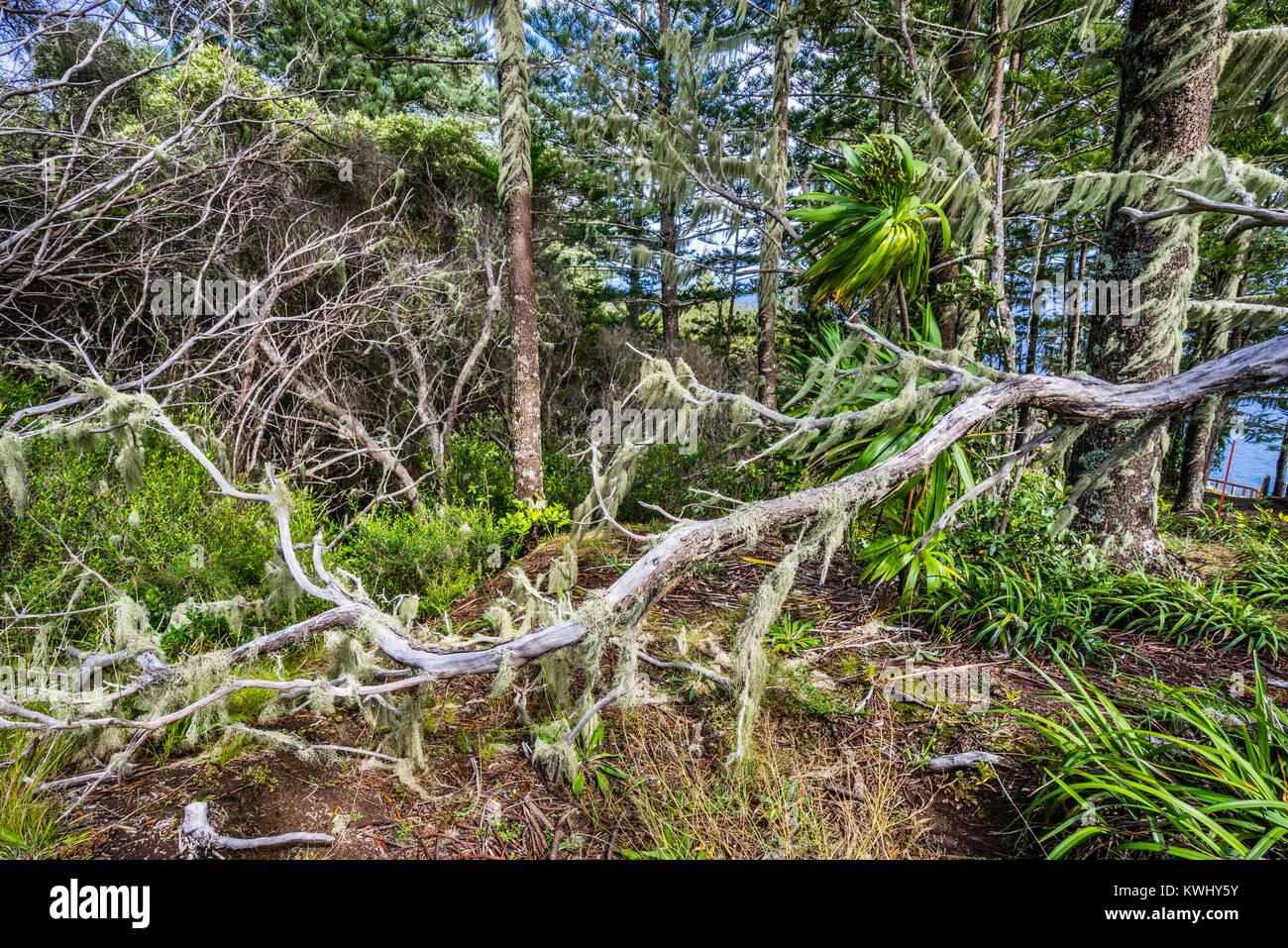 Norfolk Island, Australische externe Gebiet, Norfolk Island National Park, Zaum, Filiale tasseled mit Old Man's Stockbild