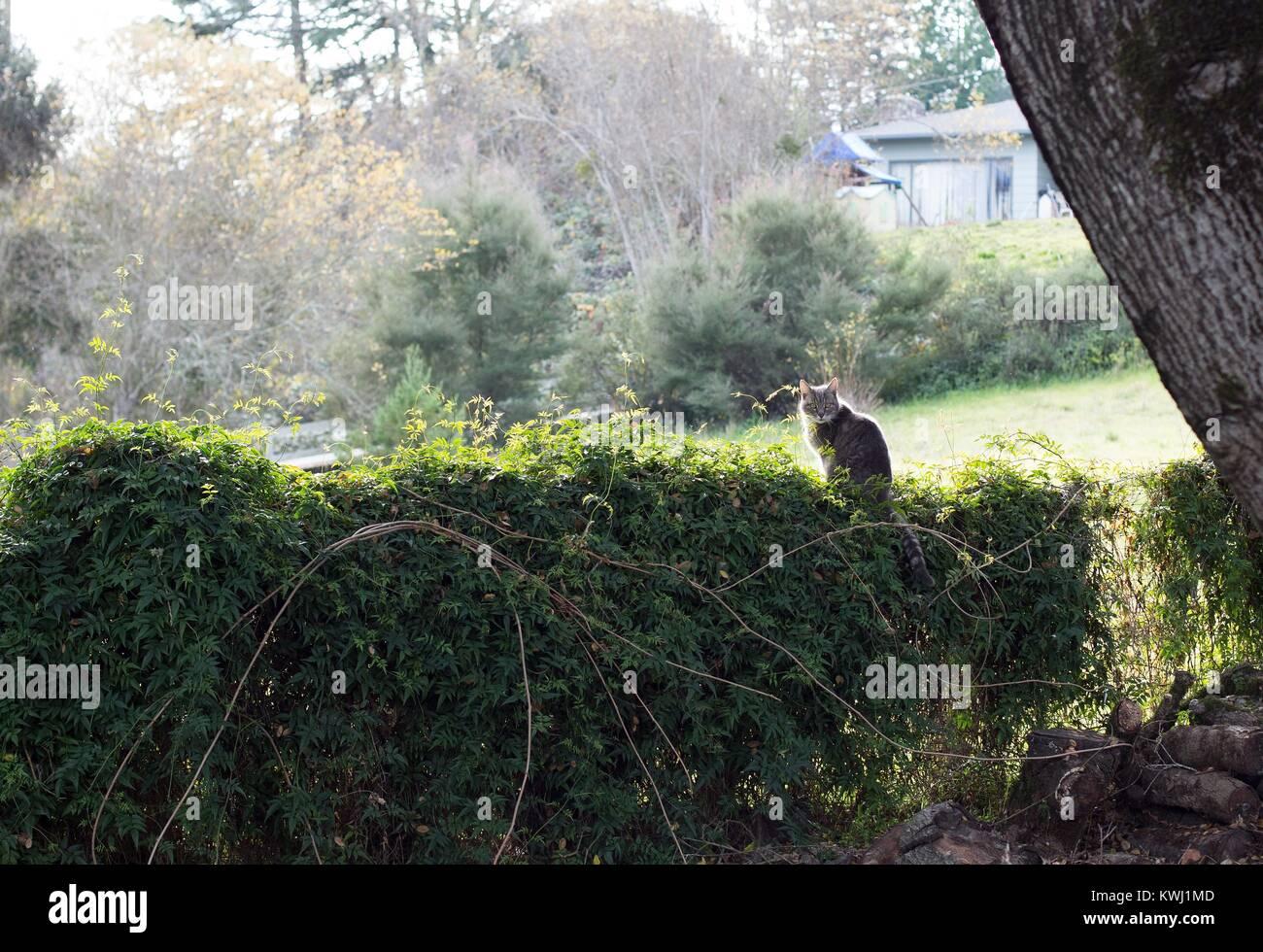 Eine graue Katze sitzt auf einer Hecke. Stockbild