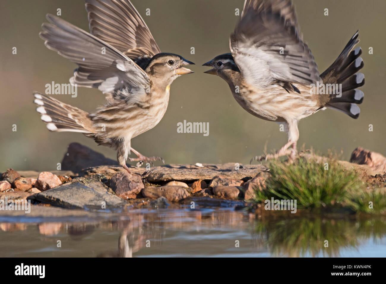 Rock Sparrow Petronia petronia Aggression Extremadura Spanien Dezember Stockbild