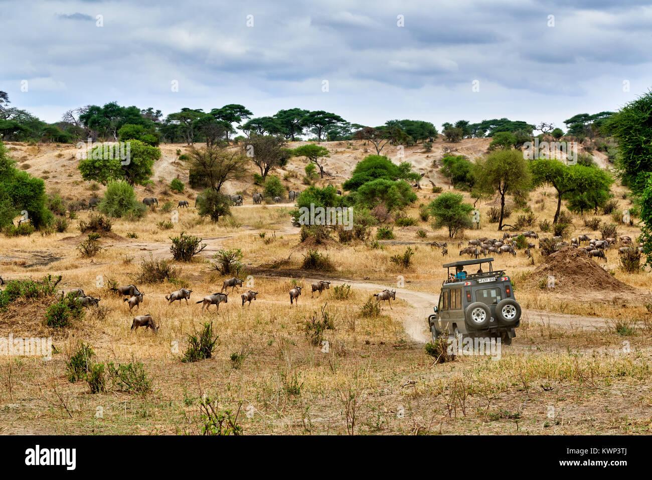 Blue Wildebeest und Safari Auto auf Tal der Tarangire Nationalpark, Tansania, Afrika Stockbild