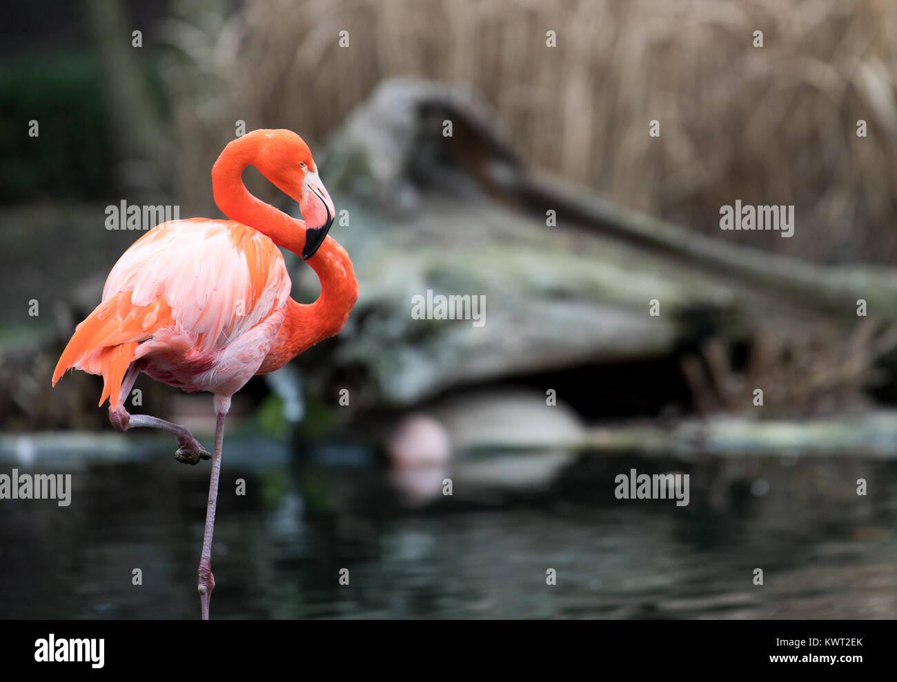 Dresden, Deutschland. Am 4. Januar, 2018. Ein Flamingo stand in der Flamingo Gehäuse im Zoo in Dresden, Deutschland, Stockbild