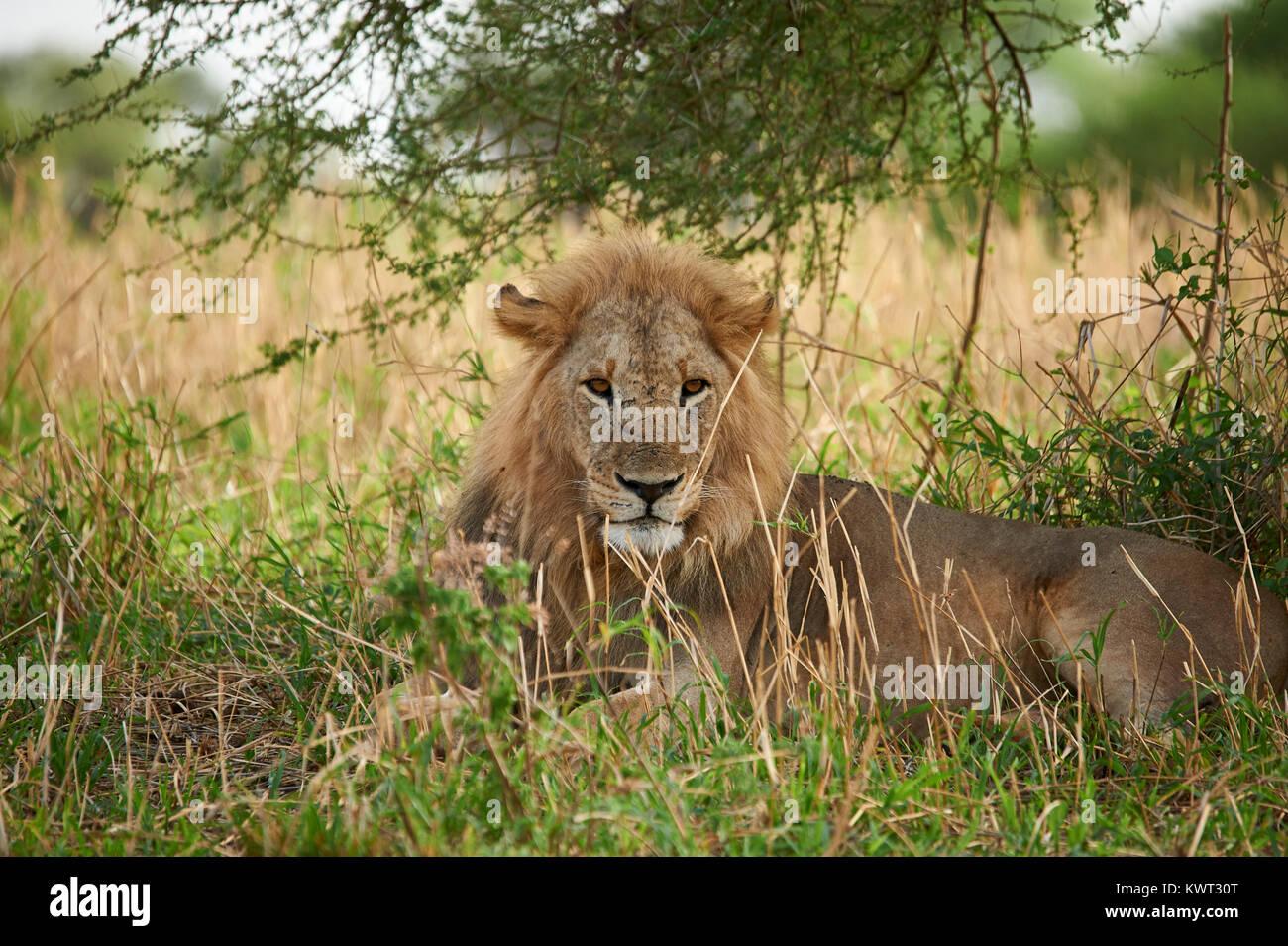 Ein wachsames männliche Löwe ruht unter einem Busch Stockbild