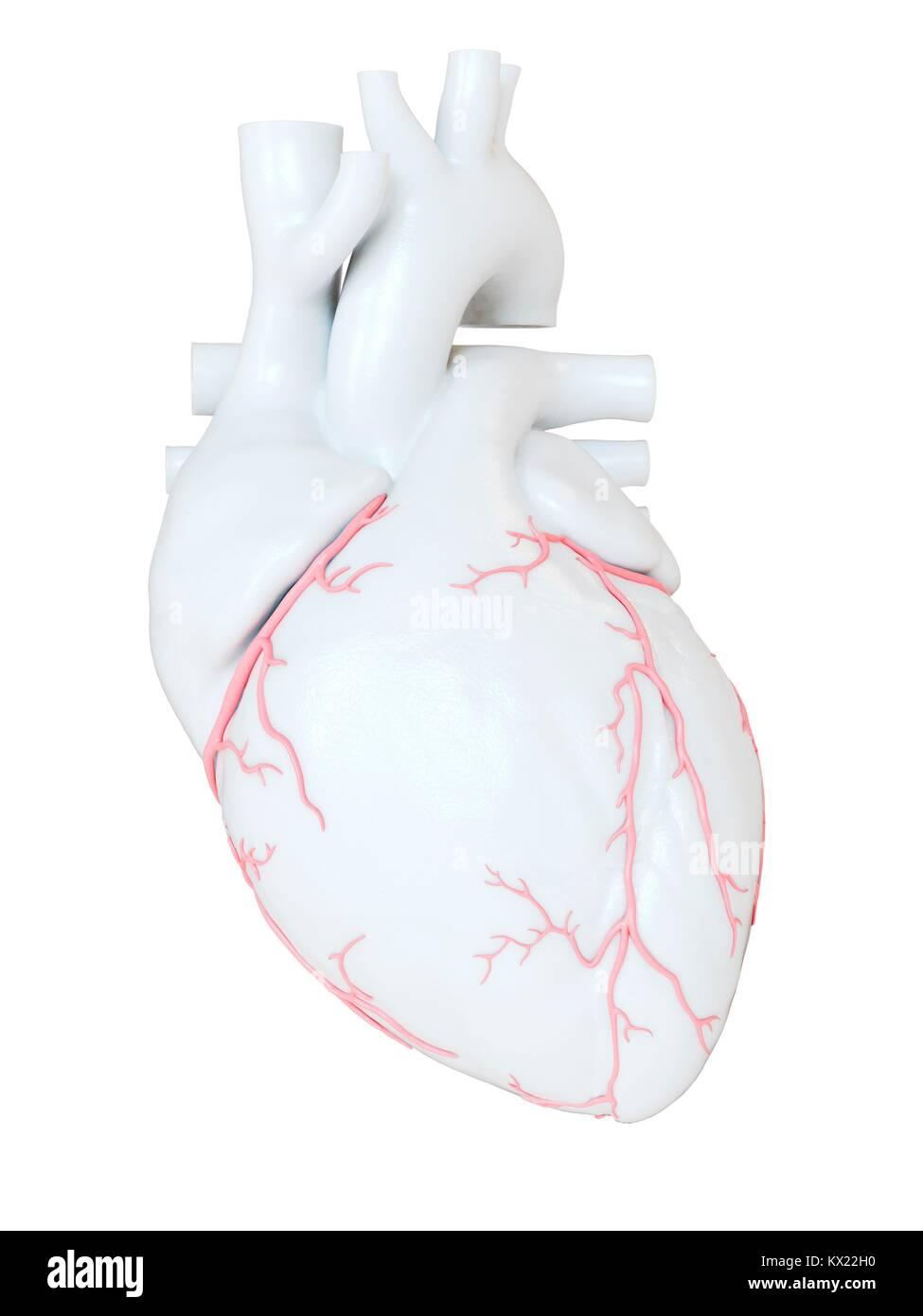 Coronary Arteries Artwork Stockfotos & Coronary Arteries Artwork ...