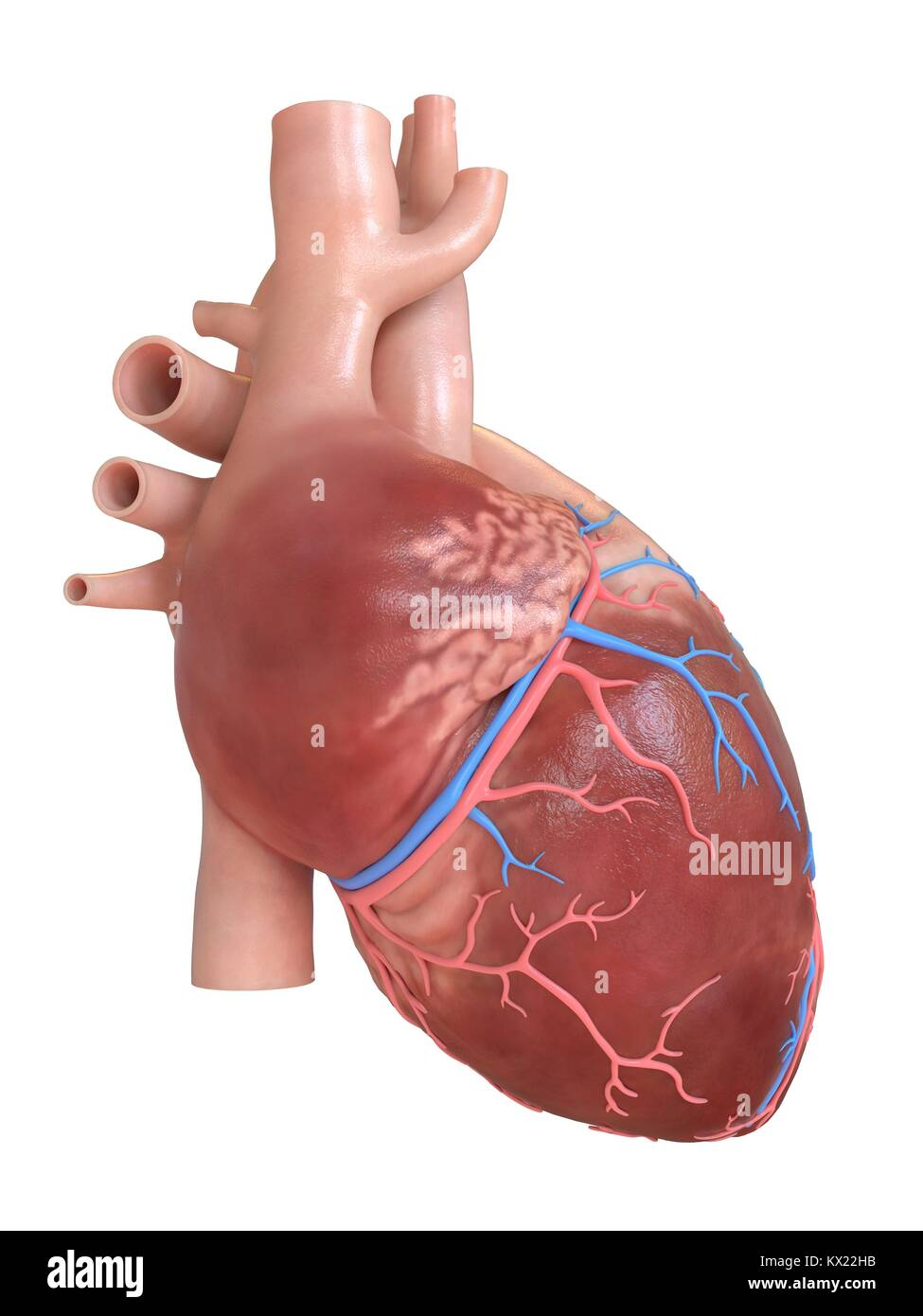 The Arteries And The Heart Stockfotos & The Arteries And The Heart ...