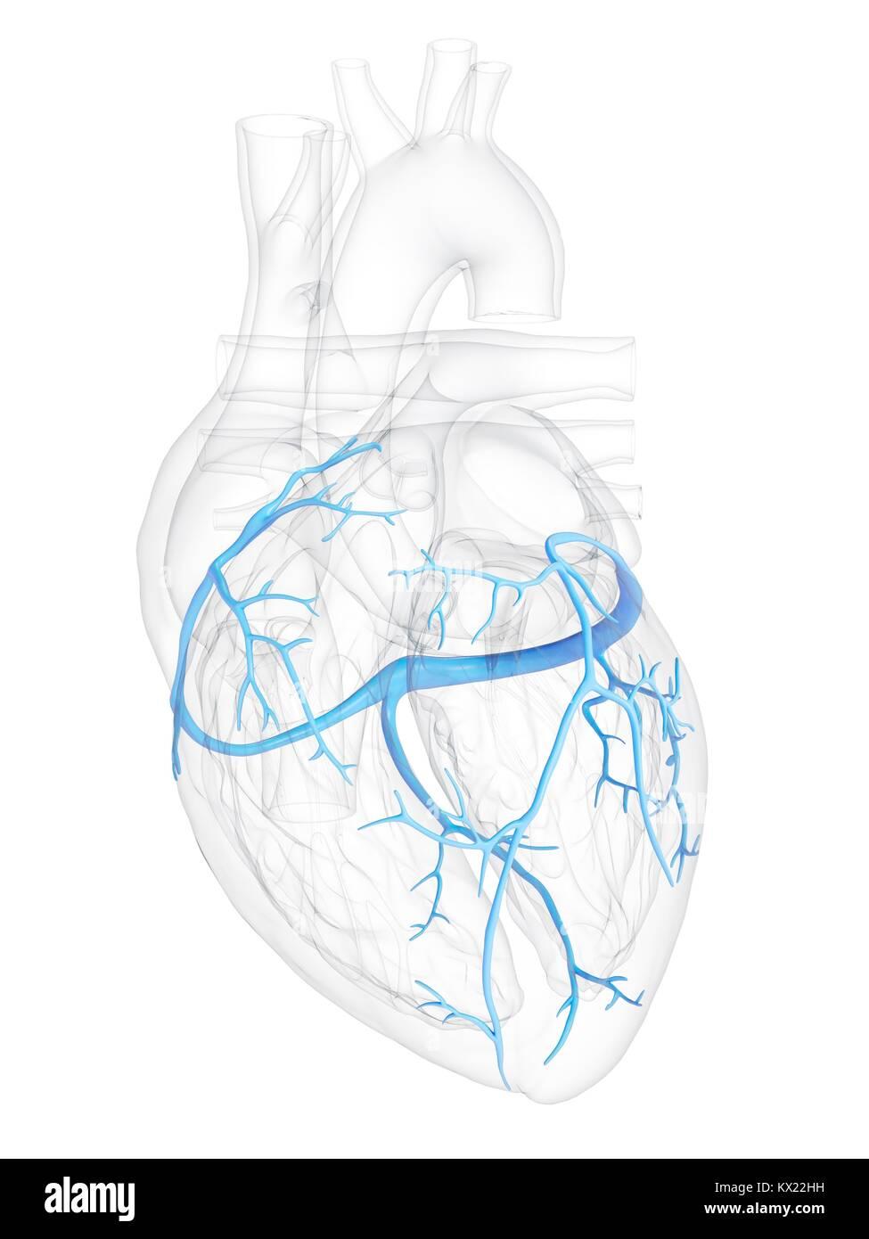 Groß Herz Diagramme Bilder - Anatomie Und Physiologie Knochen Bilder ...