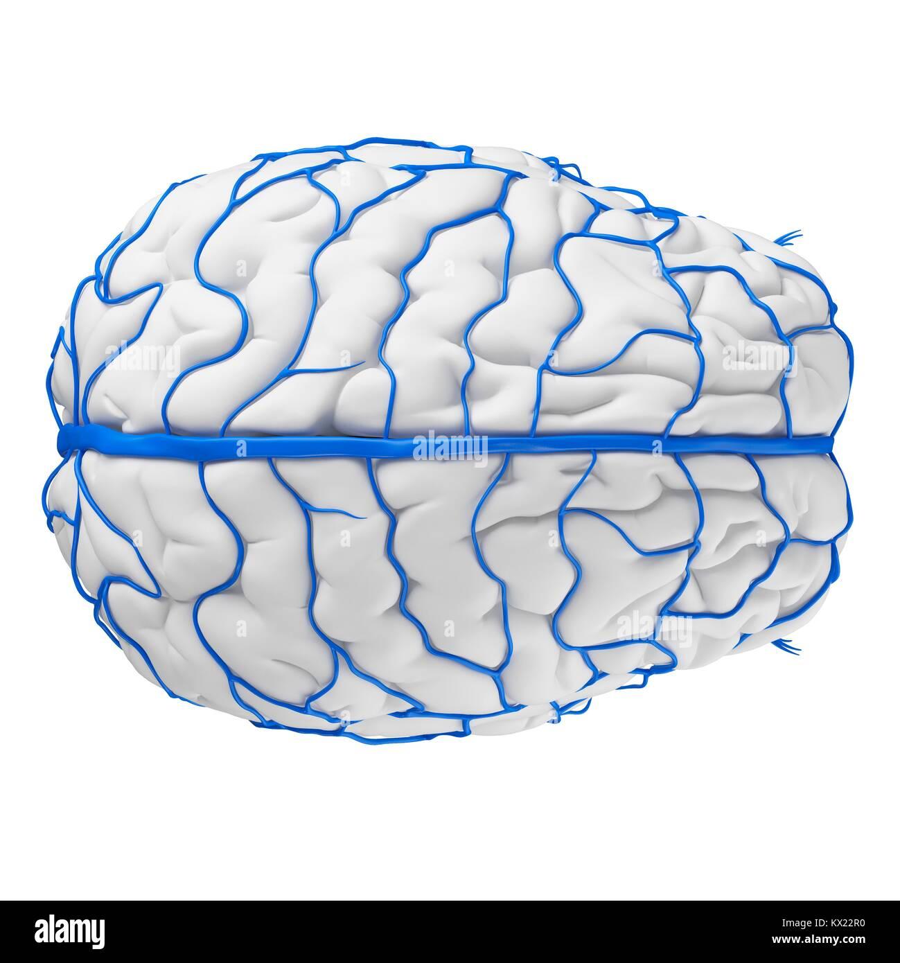 Tolle Gehirn Sinusvenenanatomie Fotos - Anatomie Von Menschlichen ...