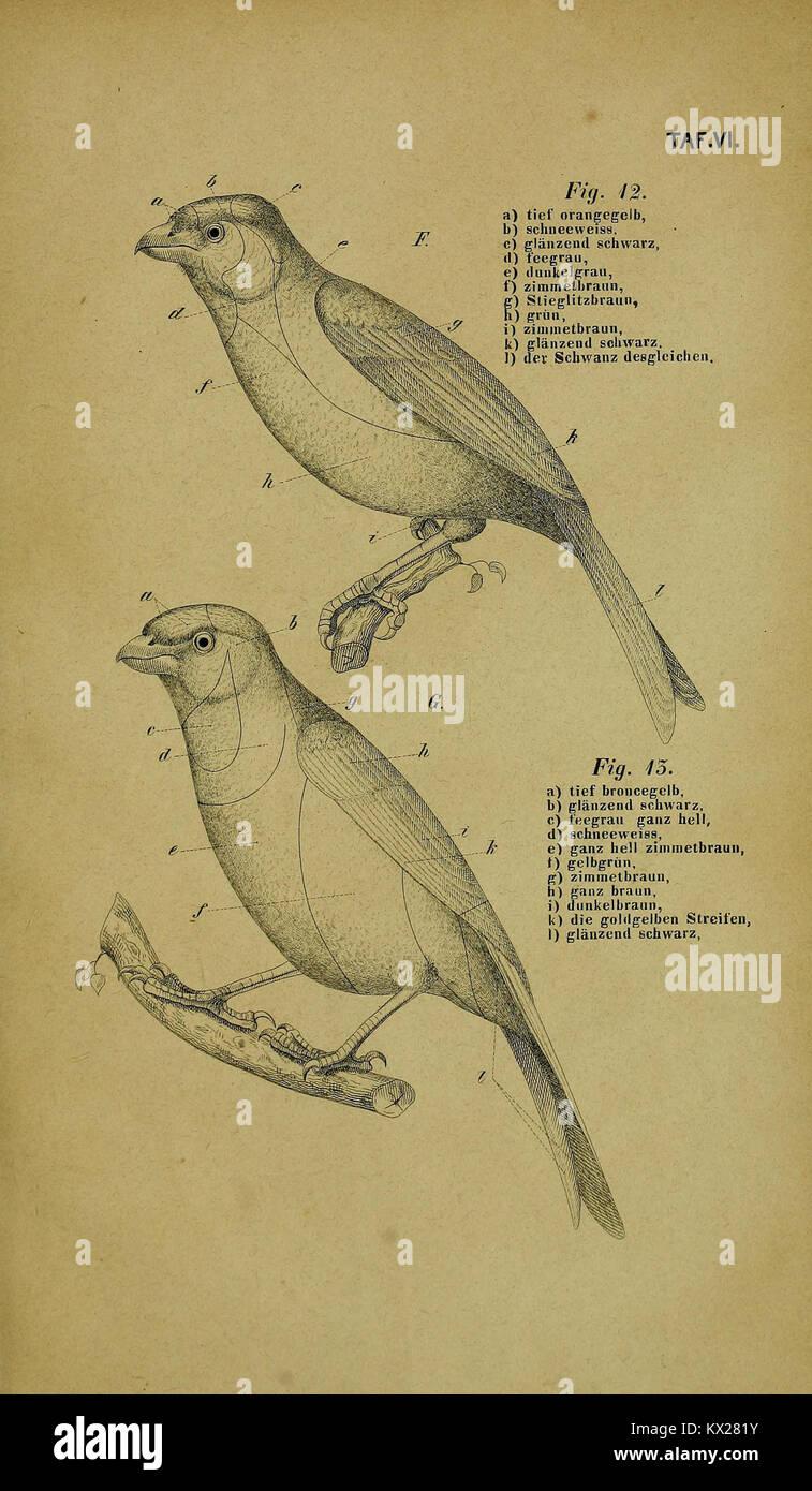 Die Kanarienvögel, Sprosser, Nachtigallen, Rothgimpel, Schwarzamseln, Bluthänflinge, Steindrosseln und Stockbild