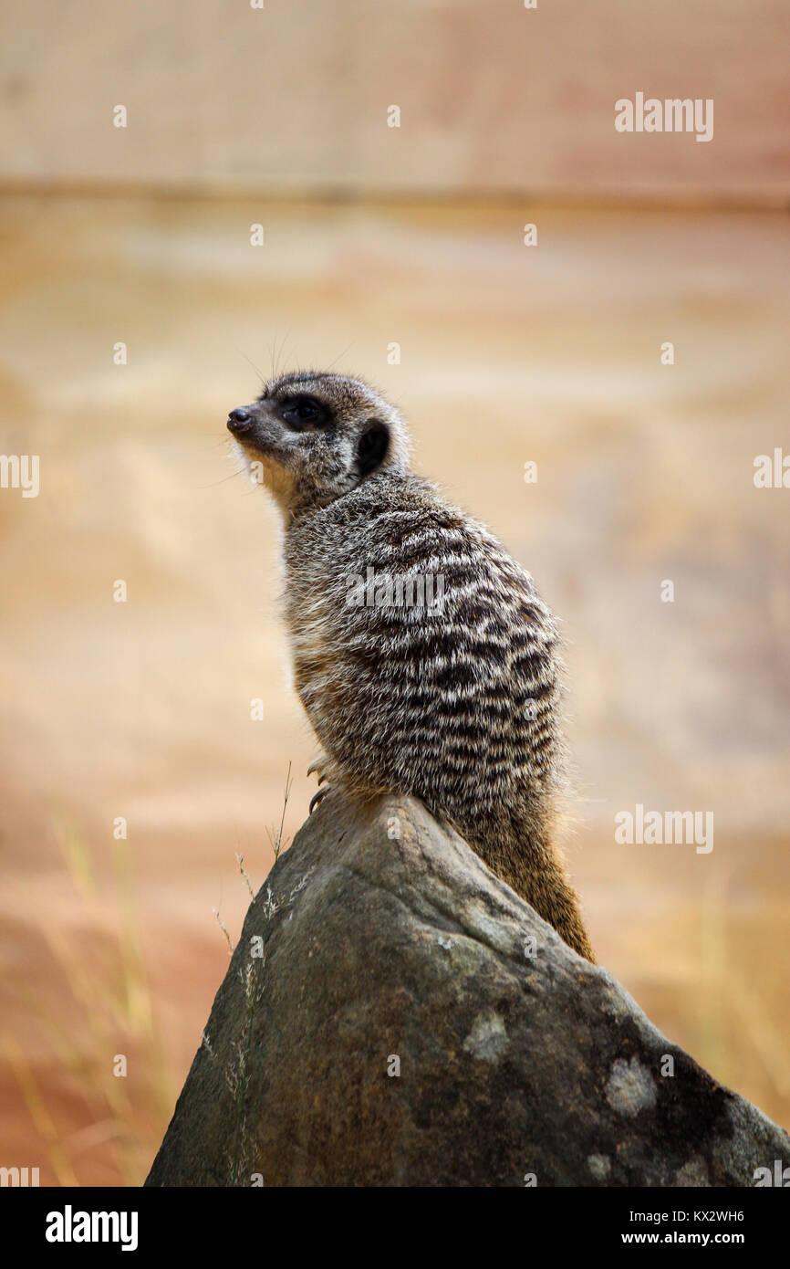 Watchful Erdmännchen, sitzend auf einem Fels Stockbild