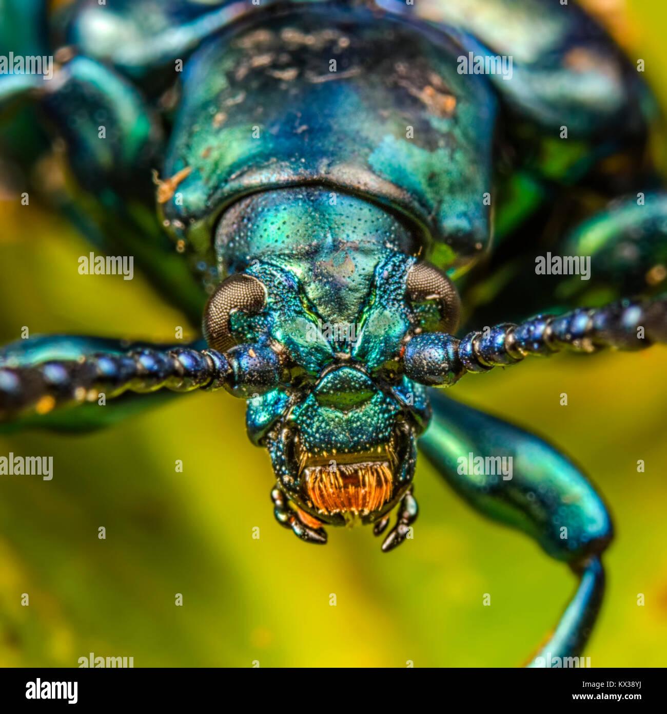 Makro Bild eines grünen Frosch Legged Käfer (Sagra Buqueti) Stockfoto