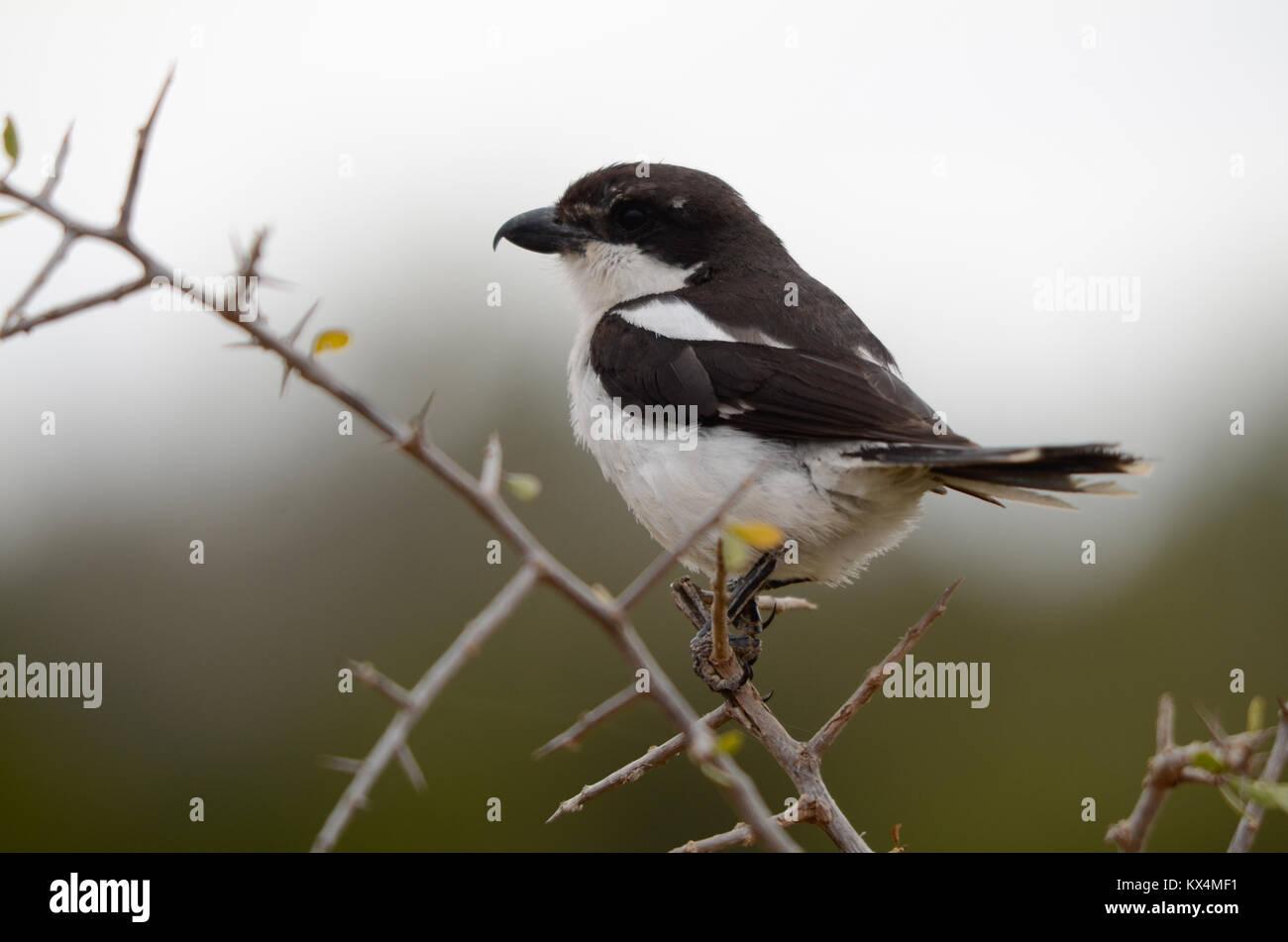 Einen Kleinen Schwarzen Und Weißen Vogel Mit Einem Haken Schnabel