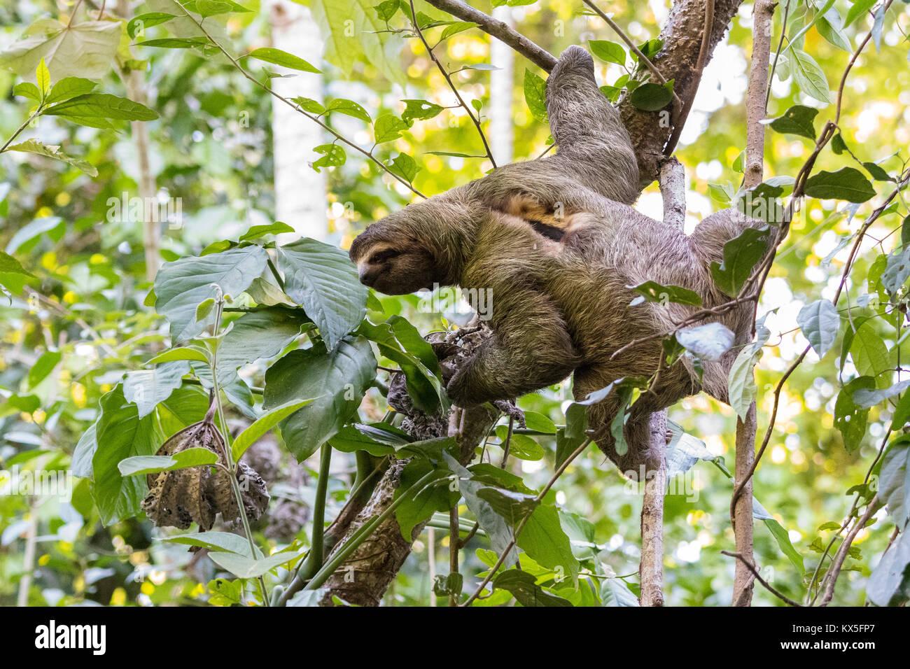 Drei Toed Sloth Bradypus Im Baum Nationalpark Manuel Antonio