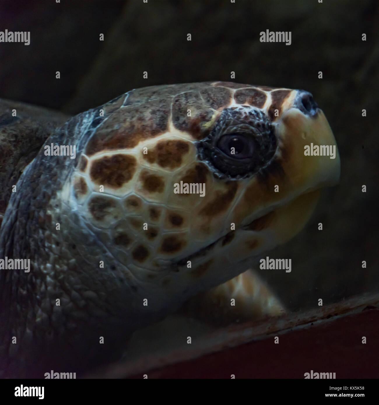 Kopf einer unechten Karettschildkröte (Caretta caretta) im Aquarium von Costa Teguise auf Lanzarote Stockbild