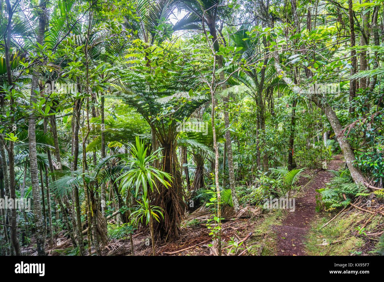 Norfolk Island, Australische externe Gebiet, Norfolk Island National Park, üppigen Regenwald Vegetation mit Stockbild