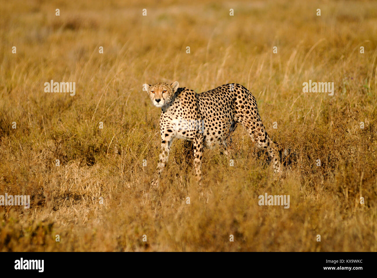 Tansania Serengeti Nationalpark in der Nähe von Arusha, Cheetah/Tansania Serengeti Nationalpark bei Arusha, Stockbild