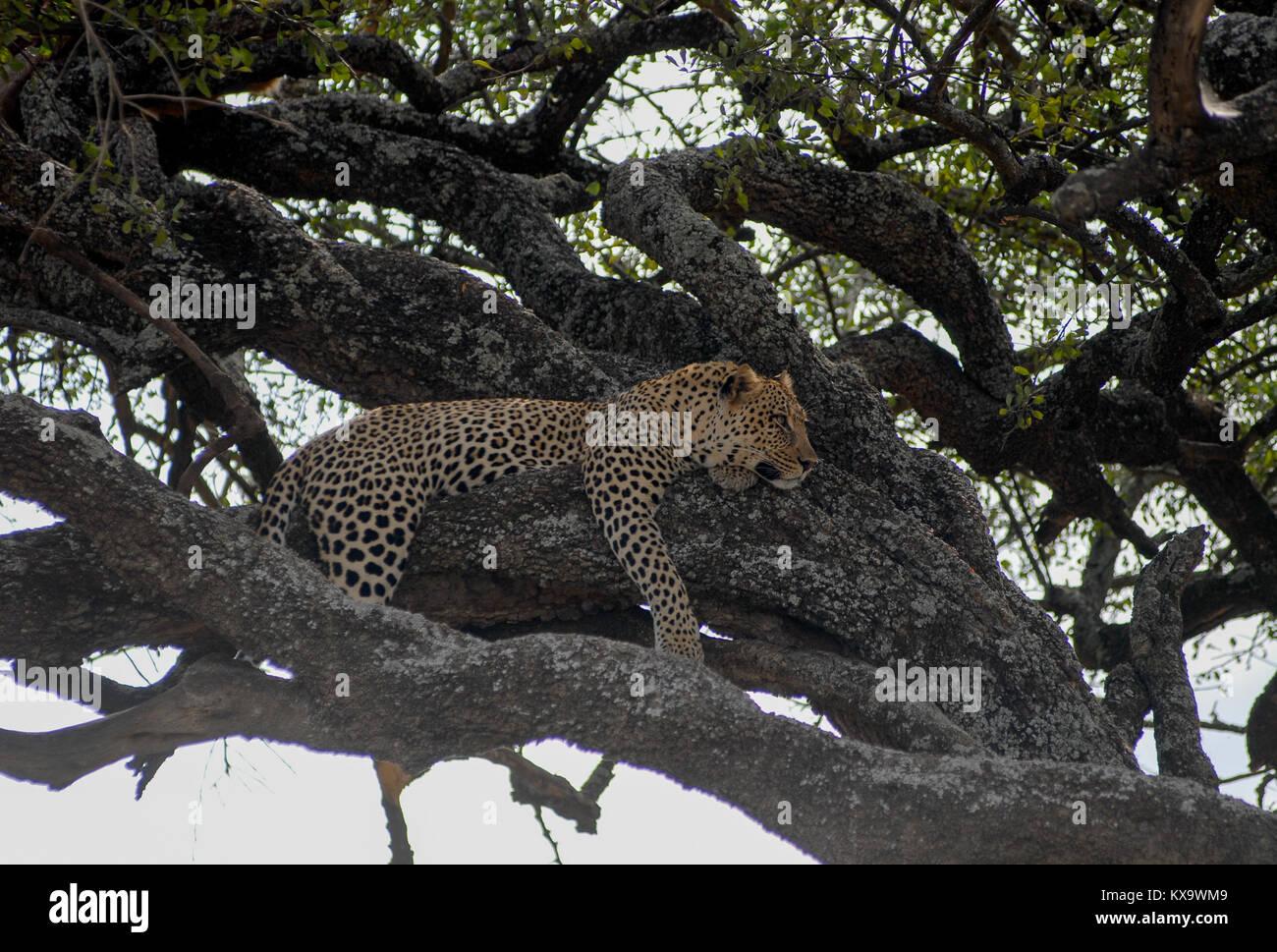 Tansania Serengeti Nationalpark in der Nähe von Arusha, schlafen Leopard/Tansania Serengeti Nationalpark bei Stockbild