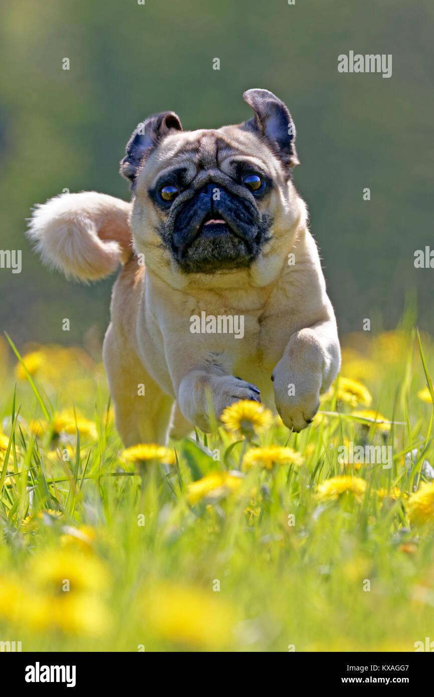 Pug läuft in einem Löwenzahn Wiese, Deutschland Stockbild