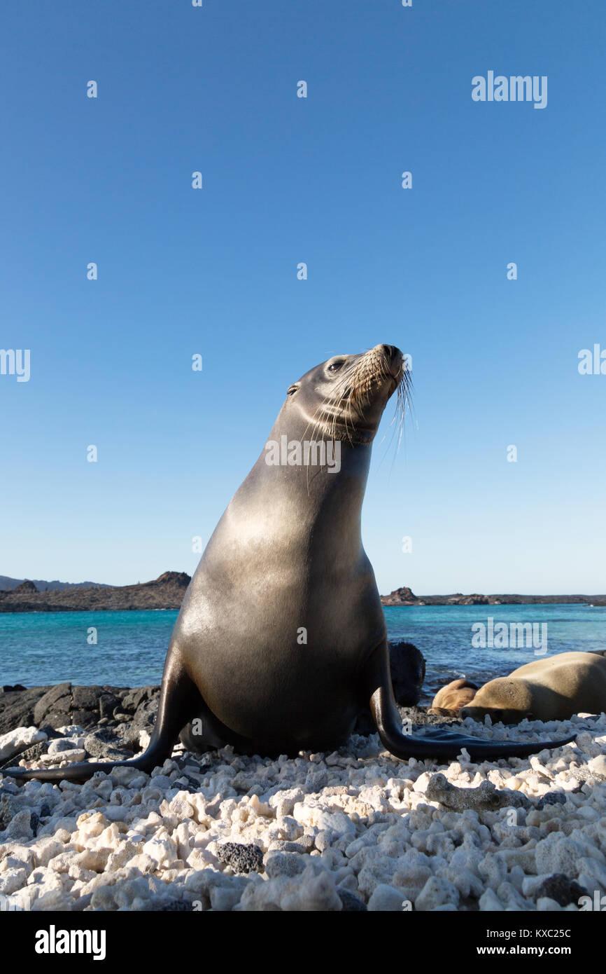 Galapagos seal Lion (Zalophus wollebaeki), Chinesisch hat Island, Galapagos Inseln Ecuador Südamerika Stockbild