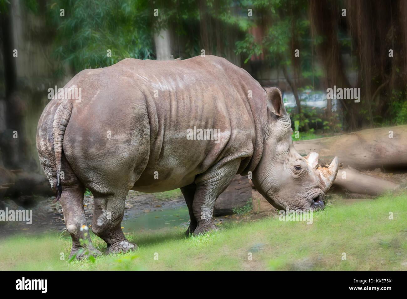 Nashorn im Zoo, das ist eine ausgestorbene Tier in der Natur noch erhalten heute. Stockfoto