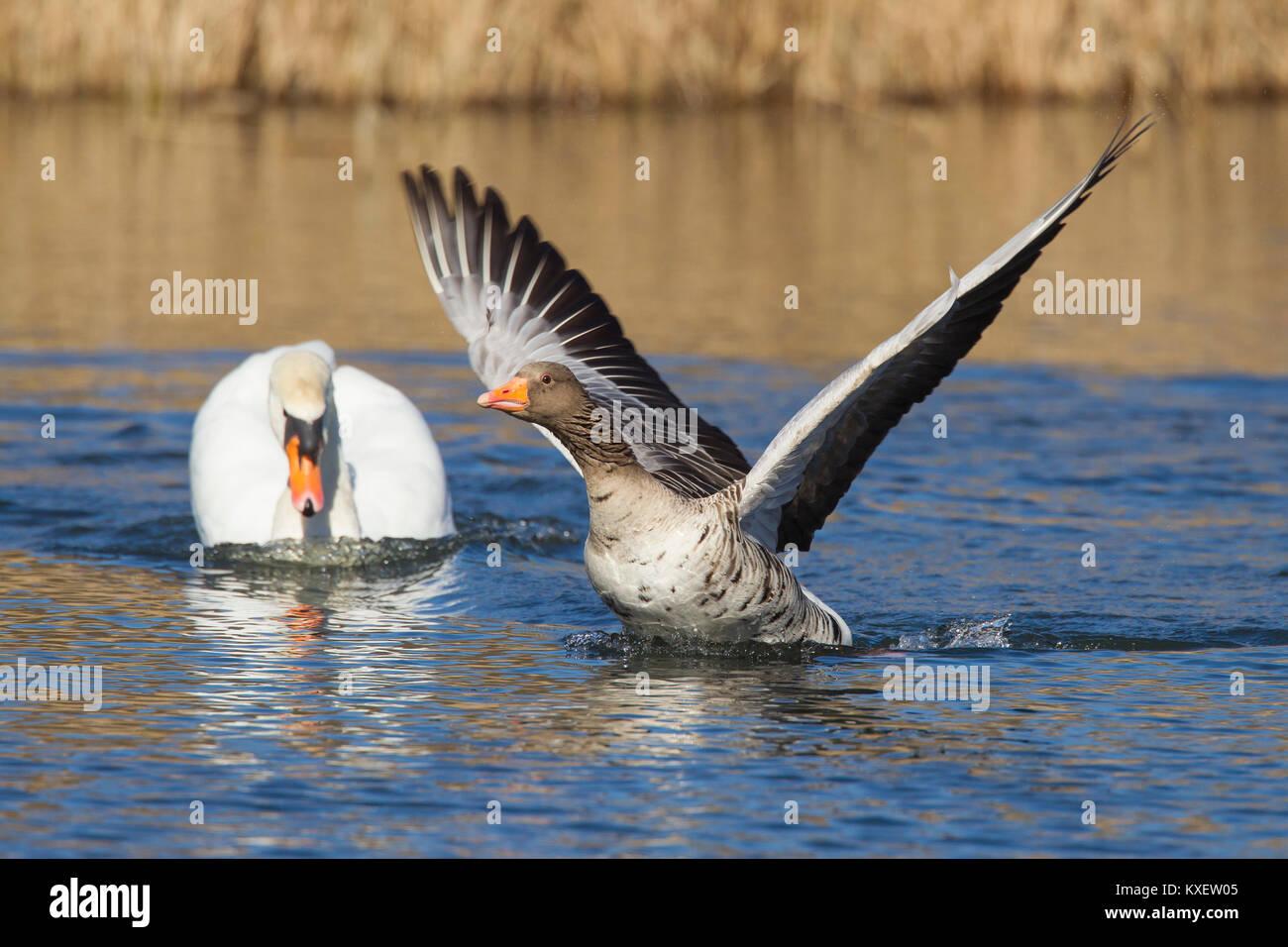 Territoriale Höckerschwan (Cygnus olor) weg jagen Graugans/Graugans (Anser anser) Schwimmen im See Stockbild
