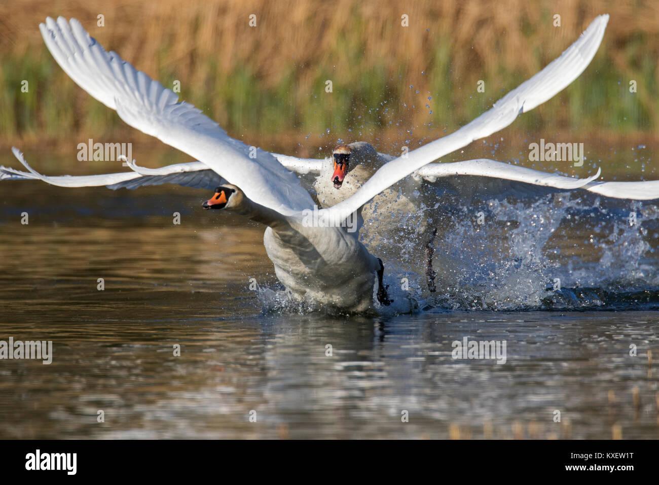 Territoriale Höckerschwan (Cygnus olor) männliche Jagen weg junger Schwan Schwimmen im See im Frühjahr Stockbild