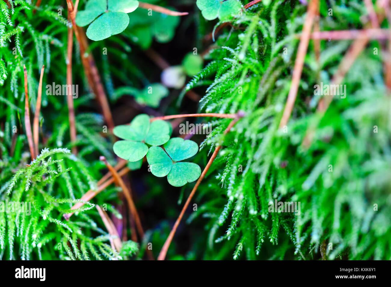 Grünen Klee Blätter im Moos, Saint Patrick's Day Hintergrund Stockbild