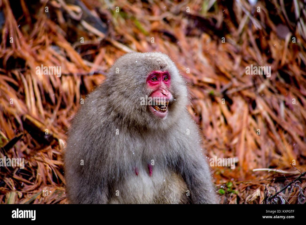 Eine japanische Makaken, oder snow Monkey, schreit ein Mann, der versuchte, ein bisschen verspielt, die sie eindeutig Stockbild