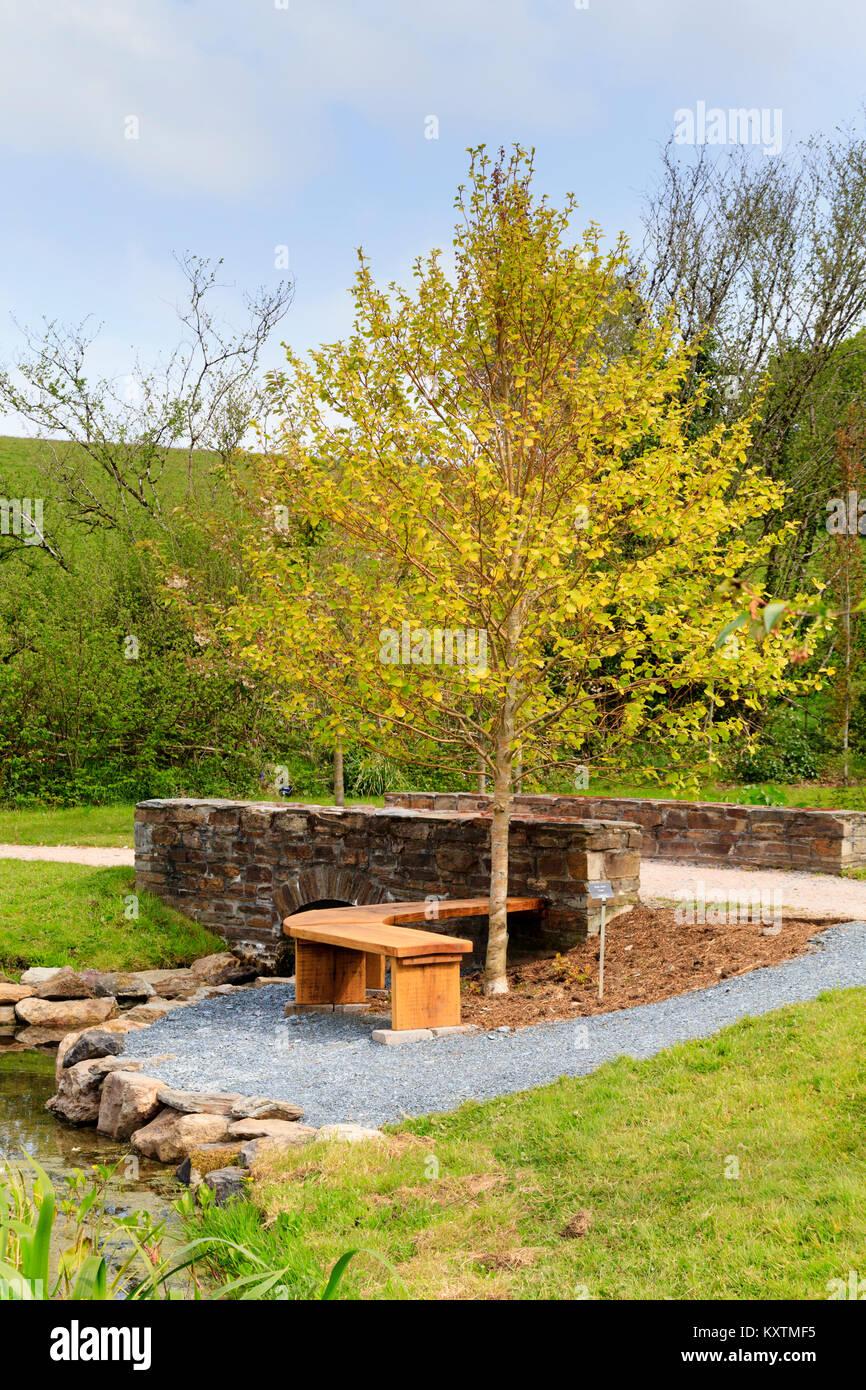 Gold leaved Erle, Alnus Incana 'Aurea' steht über einen Sitzbereich am Arboretum See an der Garden Stockbild