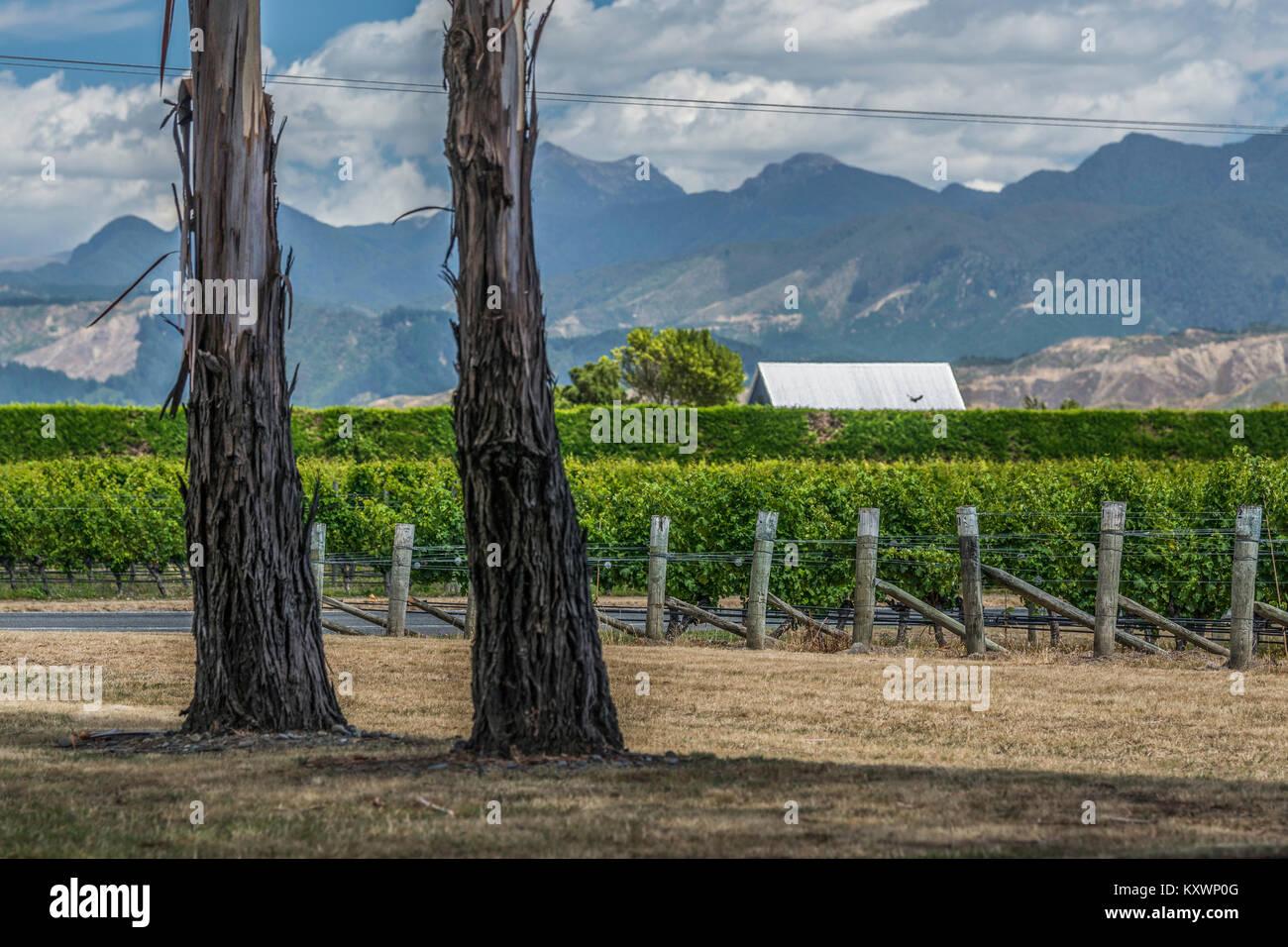 Die Weinberge von Marlborough, Neuseeland Stockbild