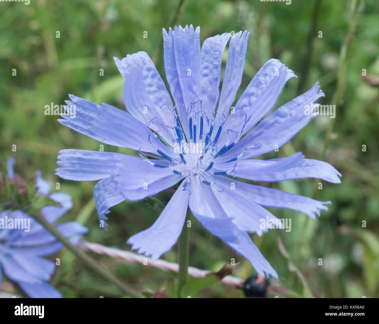 Gemeinsame Chicorée Chicorium Intybus In Blüte Großbritannien
