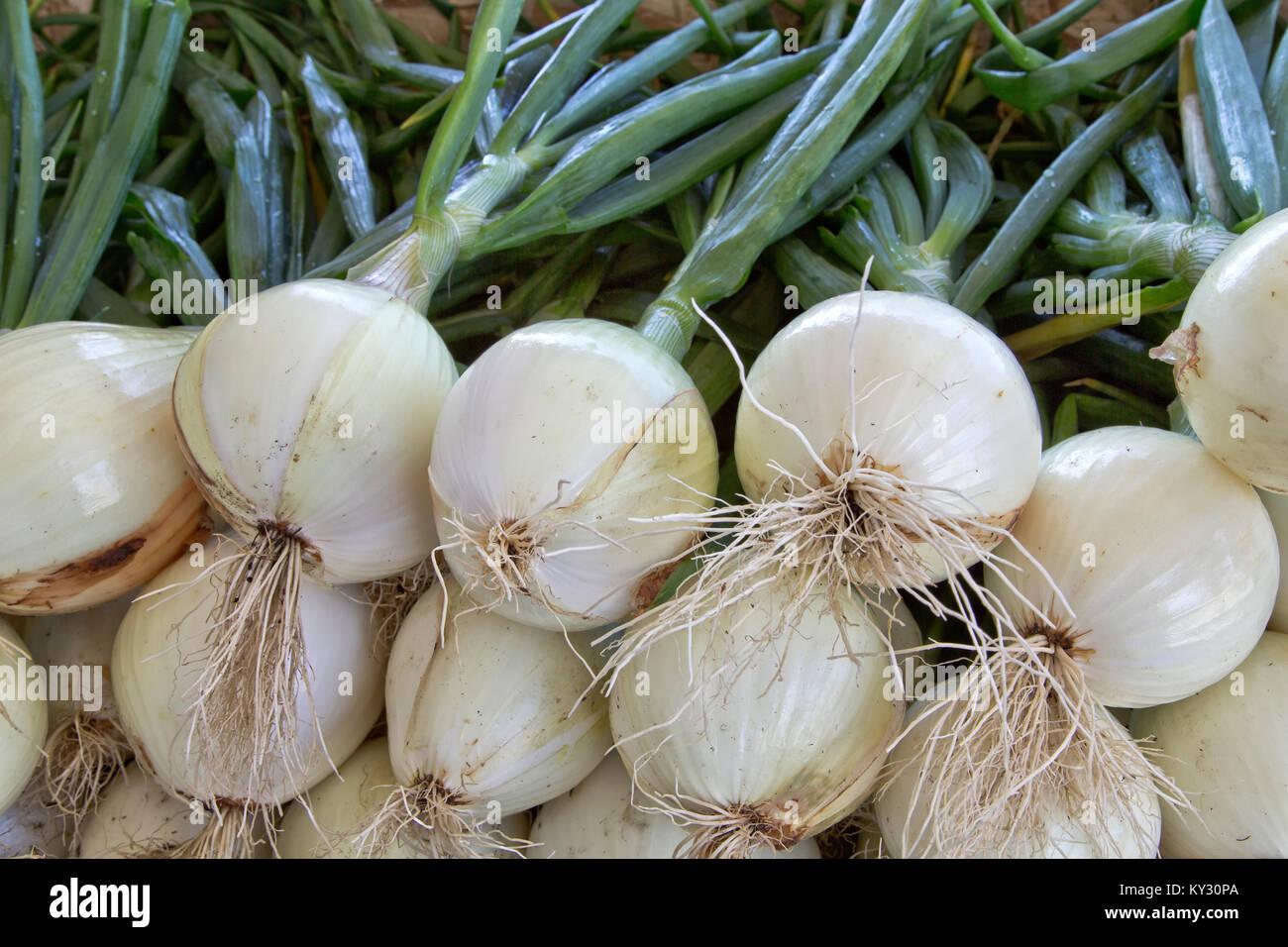 """Ailsa Craig geernteten Zwiebeln' Allium cepa"""". Stockbild"""